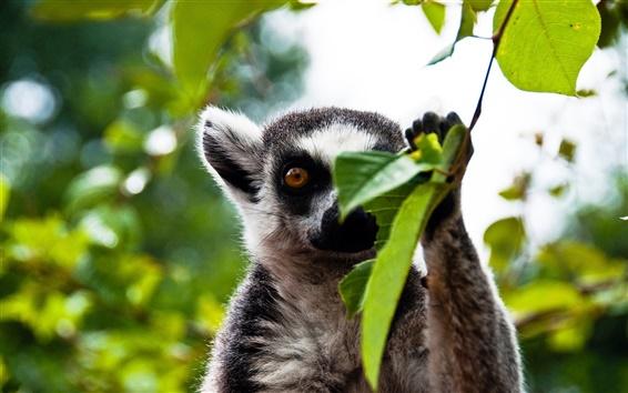 Fondos de pantalla Bosque lemur