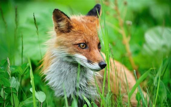 Papéis de Parede Uma raposa no mato
