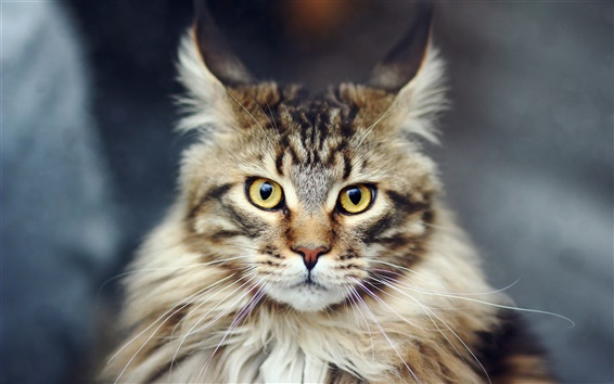 Wallpaper HD close-up of cat's face