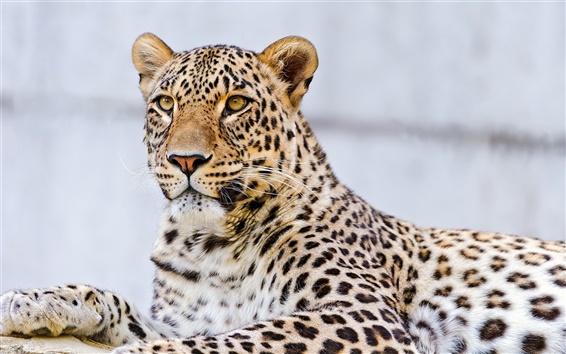 Обои Leopard лапы, усы, глаза, макро фотографии