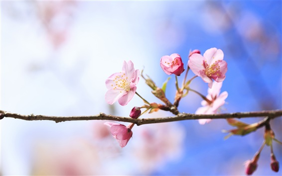 Wallpaper Spring cherry blossoms close-up, blurred background