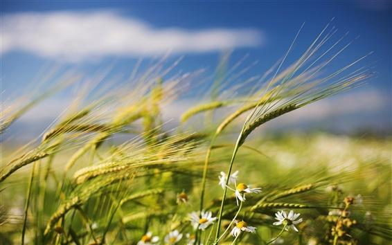 Fond d'écran Blé d'été et les fleurs sauvages