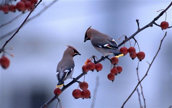 壁紙 果実の木の枝に立っている二羽の鳥