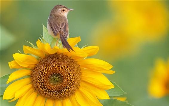 Wallpaper A bird standing on sunflower flower top
