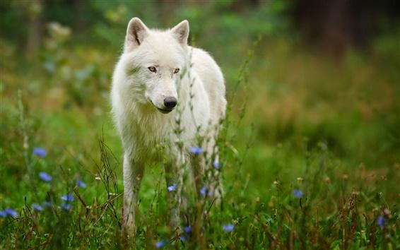 Wallpaper Arctic wolf predator