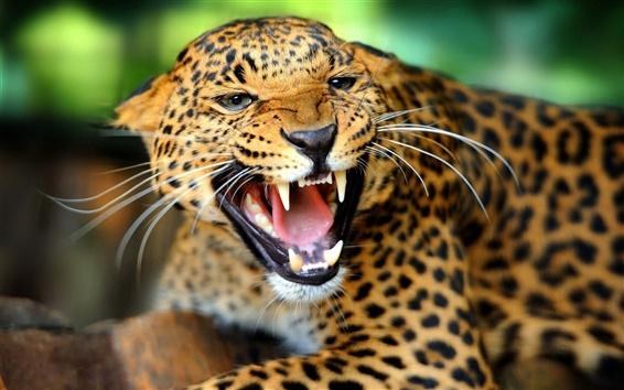 Wallpaper Cheetah facial features, sharp teeth