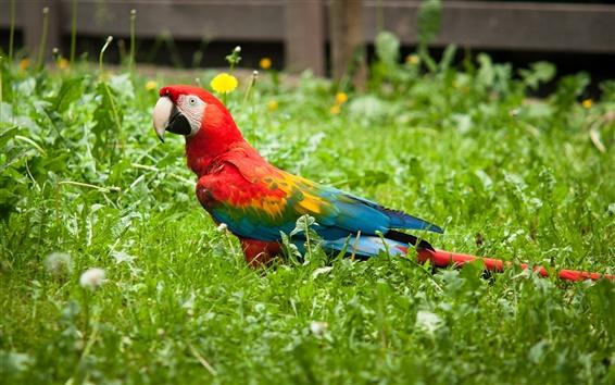 Обои Красочный попугай птица в траве