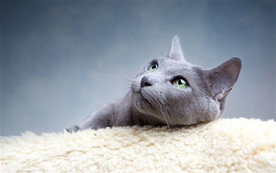 Wallpaper Gray cat divert attention