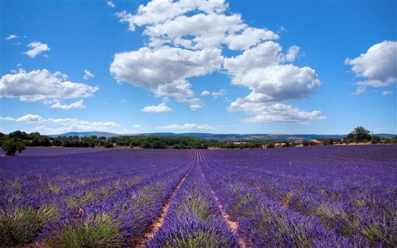 Wallpaper Lavender of Provence, France