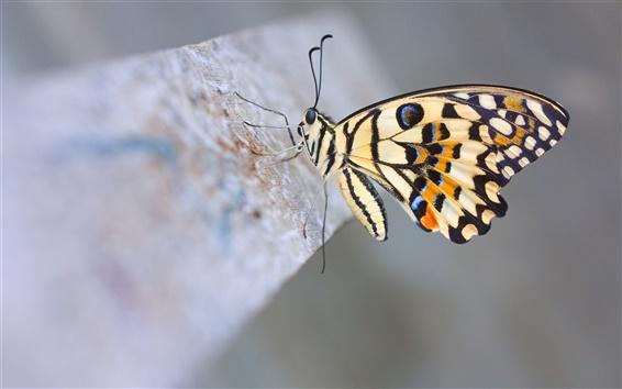 Обои Известь бабочка крупным планом