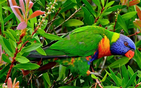 Wallpaper Multicolor Lorikeet parrot, can you see it?