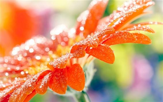 Wallpaper Orange gerbera flower petals, water drops, macro photography