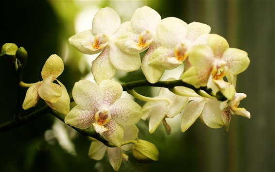 Wallpaper Orchid, phalaenopsis, flowers close-up