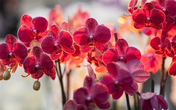 Wallpaper Orchid phalaenopsis, red color flowers