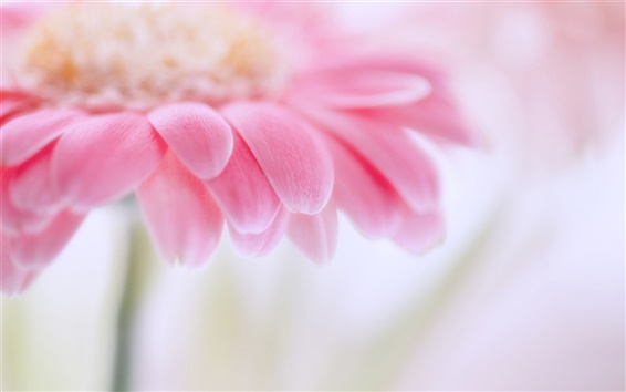 Papéis de Parede Gerbera rosa, pétalas de flores, ofuscando fotografia macro foco