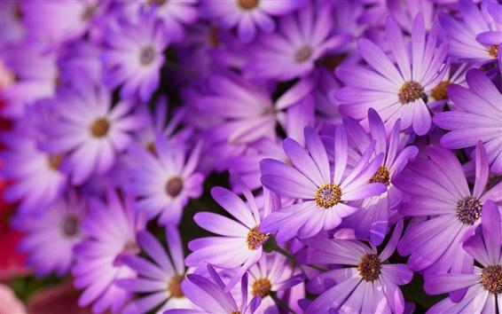 Wallpaper Purple daisies, petals, flowers, macro photography