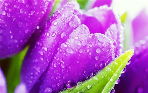 Wallpaper Purple tulip flowers, crystal drops