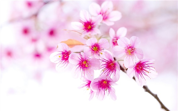 Papéis de Parede Primavera flores de cerejeira, flores cor de rosa, close-up