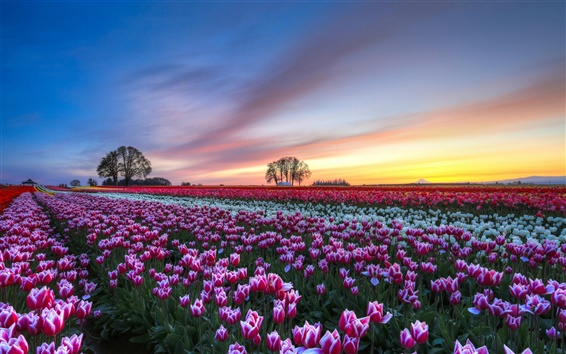 Papéis de Parede Campo de flores tulipas, pôr do sol à noite, colorido cenário
