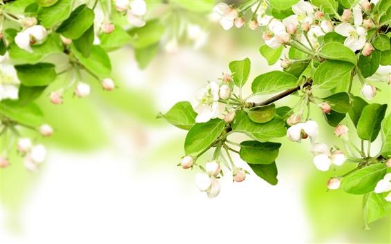 Обои Белое яблоко цветы весной