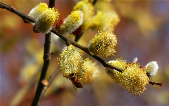 Wallpaper Willow bud in the spring, busy bees