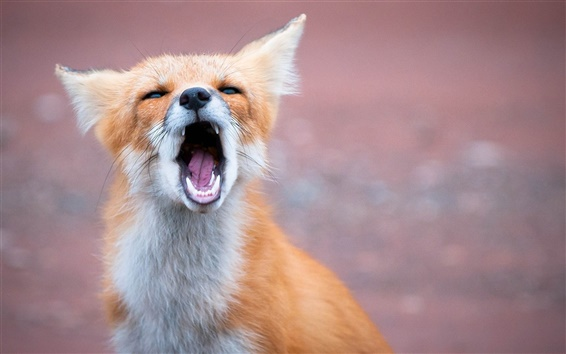 Wallpaper Yawning fox
