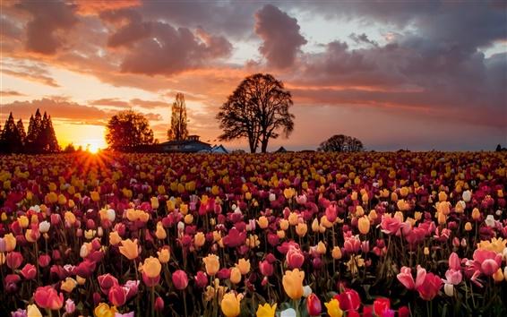 Fond d'écran Beaucoup de fleurs de tulipes, coucher de soleil chaud, des champs