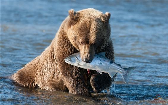 Wallpaper Brown bear catching a fish
