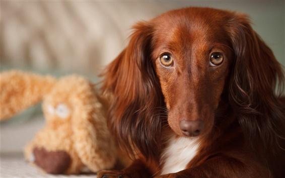 Papéis de Parede Cão marrom, orelhas longas