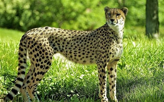 Обои Cheetah в лесу, трава, зеленый