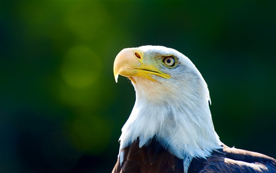 Papéis de Parede Cabeça da águia close-up, penas brancas