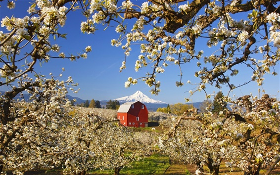 Wallpaper Garden of apple trees, white flowers blooming, red house