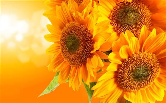 Wallpaper Golden sunflowers, orange background, glare rays