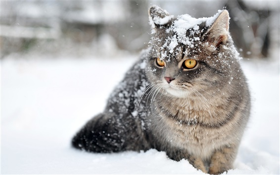 Wallpaper Gray cat in the snow, accompanied with snowflakes