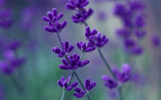 Wallpaper Lavender purple petals macro, blurred background