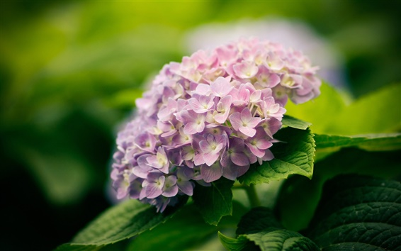 Wallpaper Nature plants, flowers, hydrangea, blossom, green leaf