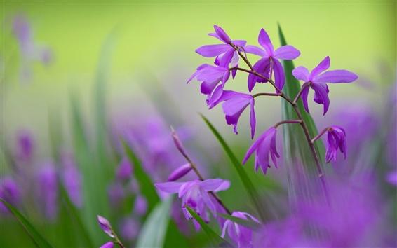 Обои Фиолетовые цветы Bletilla, размытым фоном