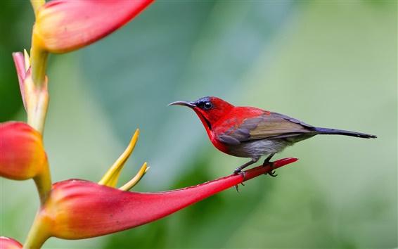Wallpaper Sharp-tailed sunbird, flowers, blurred background