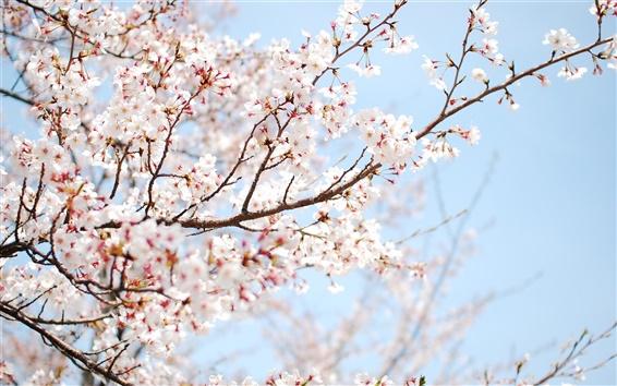 Обои Весна розовый цвет вишня ветка крупным планом
