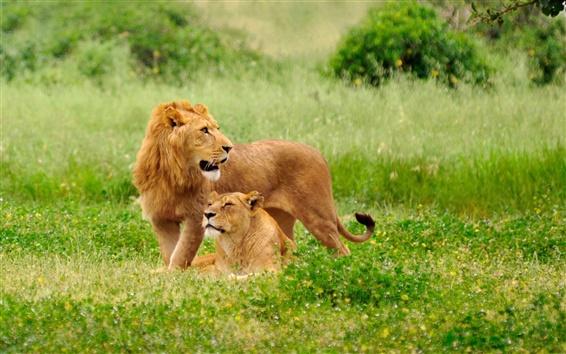 Fond d'écran Les deux lions dans l'herbe