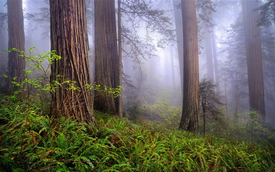 Wallpaper USA, California, Redwoods, morning, forest, mist, spring landscape
