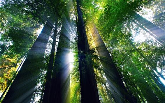 Fondos de pantalla EE.UU., California, el bosque de verano, los árboles, los rayos del sol