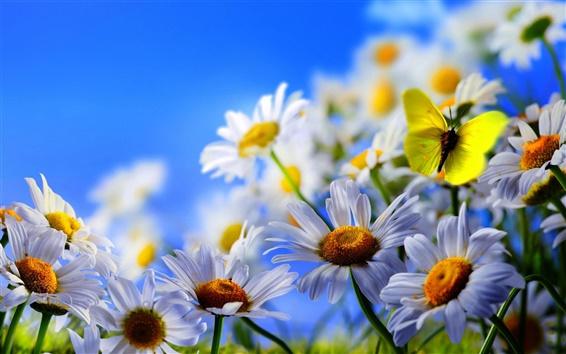 Обои Белые цветы ромашки, желтая бабочка, голубое небо