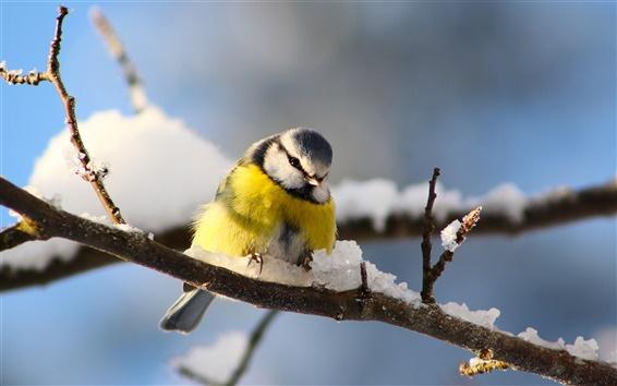 壁紙 鳥写真撮影、シジュウカラ、小枝、冬の雪