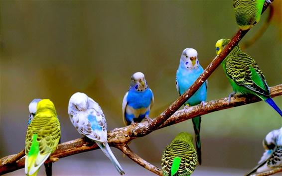 Wallpaper Budgies birds photography