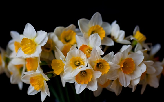 Wallpaper Daffodils, flowers close-up, black background
