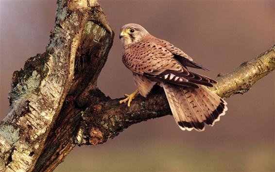 Papéis de Parede Falcon, penas marrons, ramo de árvore