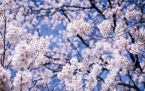 Обои Япония, Мацумото, префектура Нагано, вишни распускаются цветы
