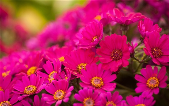 Papéis de Parede Muitos rosa brilhante crisântemo