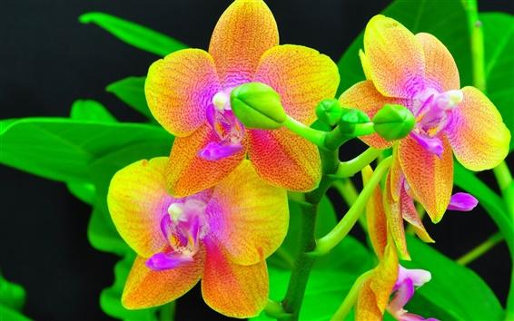 Обои Орхидеи крупным планом, оранжевые и красные лепестки цветка